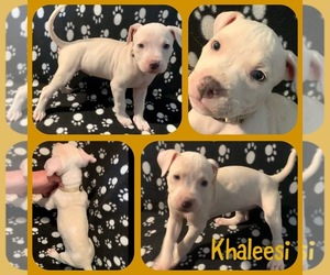 American Pit Bull Terrier Puppy for sale in ARVADA, CO, USA
