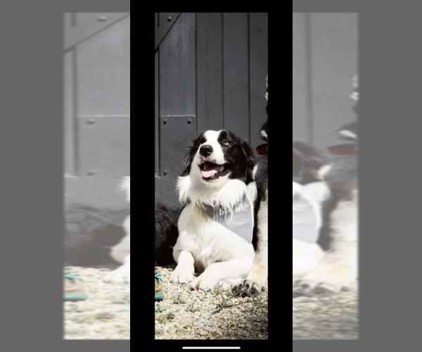 Medium Photo #1 Border Collie Puppy For Sale in SAINT JAMES, MO, USA