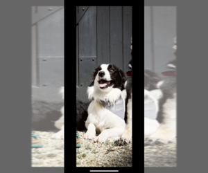 Father of the Border Collie puppies born on 12/18/2020