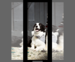 Small Photo #1 Border Collie Puppy For Sale in SAINT JAMES, MO, USA