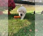 Puppy 8 Golden Labrador