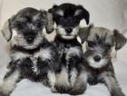 Schnauzer (Miniature) Puppy For Sale near 75023, Plano, TX, USA