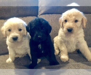 Labradoodle Puppy for Sale in FORT CALHOUN, Nebraska USA