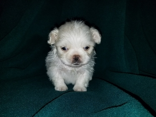 Pekingese Puppy for sale in NEOSHO, MO, USA
