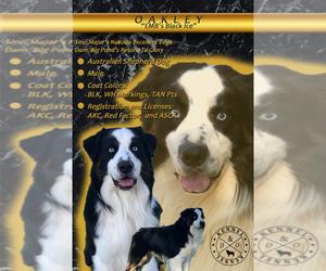 Father of the Australian Shepherd puppies born on 05/03/2020
