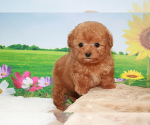 Poodle (Toy) Puppy for sale in DALLAS, TX, USA