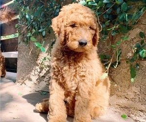 Goldendoodle Puppy for sale in GLENDALE, CA, USA