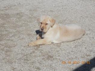 Labrador Retriever Puppy For Sale in MONTGOMERY, IN