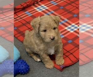 Maltipoo Puppy for Sale in BAYTOWN, Texas USA
