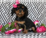 Cavalier King Charles Spaniel Puppy For Sale in EAST EARL, PA, USA