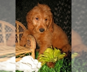 Goldendoodle Puppy for Sale in SELINSGROVE, Pennsylvania USA