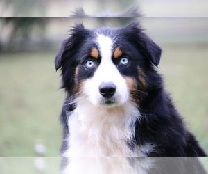Mother of the Australian Shepherd puppies born on 08/21/2020