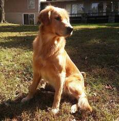 Father of the Golden Retriever puppies born on 03/17/2019