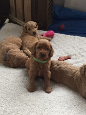 Goldendoodle Puppy For Sale in EDGEWATER, FL