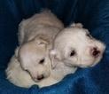Maltese Puppy For Sale in ANDERSON, AL, USA