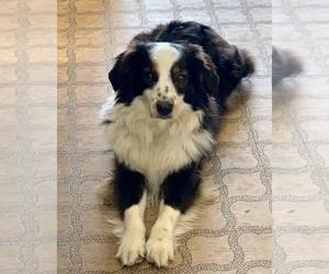 Mother of the Australian Shepherd puppies born on 02/18/2021
