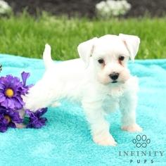 Schnauzer (Miniature) Puppy For Sale in GAP, PA, USA