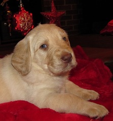 Labradoodle Puppy For Sale in ETNA GREEN, IN, USA