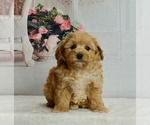 Puppy 3 Maltipoo-Poodle (Toy) Mix