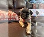 Small #6 Pug