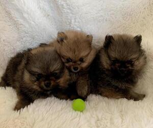 Pomeranian Puppy for Sale in SNOHOMISH, Washington USA