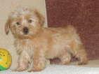 Morkie Puppy For Sale in TUCSON, AZ