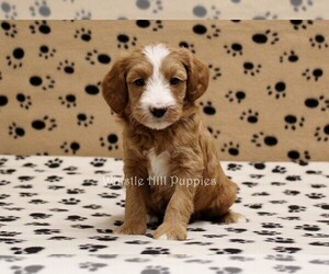 Miniature Bernedoodle Puppy for sale in DENVER, PA, USA