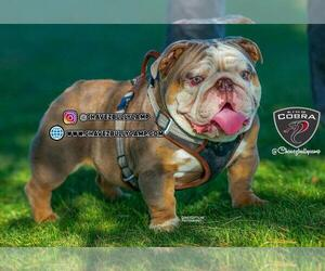 Bulldog Puppy for Sale in MURRIETA, California USA