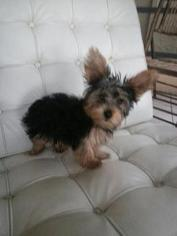 Yorkshire Terrier Puppy For Sale in KISSIMMEE, FL