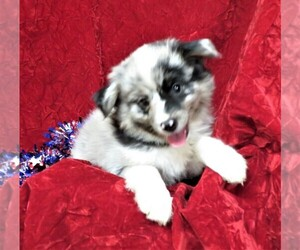 Australian Shepherd Puppy for Sale in NORWOOD, Missouri USA