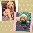 Goldendoodle Puppy For Sale in LEICESTER, NC, USA