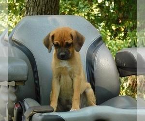 Puggle Dog for Adoption in CLARKRANGE, Tennessee USA