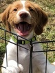 Brittany Puppy For Sale in BURL, NC, USA