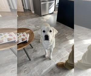 Father of the Labrador Retriever puppies born on 11/01/2020