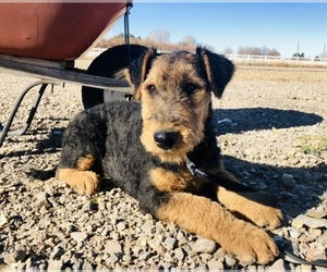 Airedale Terrier Puppy for Sale in KIMBERLY, Idaho USA