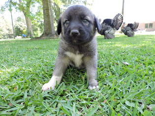 Anatolian Shepherd Puppy For Sale in ABITA SPRINGS, LA, USA