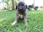 Anatolian Shepherd Puppy For Sale in ABITA SPRINGS, LA, USA