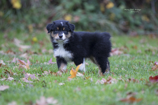 Australian Shepherd Puppy For Sale in MEDFORD, OR, USA