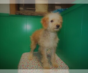 F2 Aussiedoodle Puppy for sale in PATERSON, NJ, USA