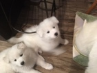 Samoyed Puppy For Sale in FORT COLLINS, CO