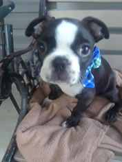 Boston Terrier Puppy for sale in INDEPENDENCE, MO, USA