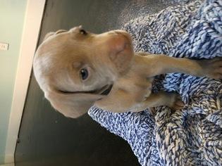 Weimaraner Puppy For Sale in HOWARD CITY, MI, USA