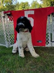 Pyredoodle Puppy For Sale in DEFIANCE, OH, USA
