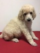 Poodle (Standard) Puppy For Sale in HOHENWALD, TN