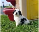 Puppy 2 Saint Berdoodle