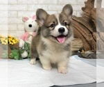 Pembroke Welsh Corgi Colten LA SF NY CHI SEA