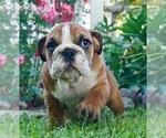 Puppy 9 English Bulldog