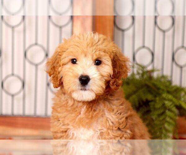 Medium Photo #4 Goldendoodle Puppy For Sale in NAPLES, FL, USA