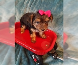 Yorkshire Terrier Puppy for Sale in HUDDLESTON, Virginia USA
