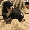 Australian Shepherd Puppy For Sale in HUTTO, TX, USA